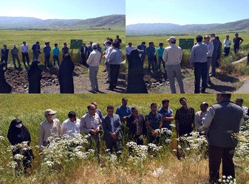 برگزاری برنامه بازدید آموزشی و ترویجی از مزارع گندم شهرستان اهر