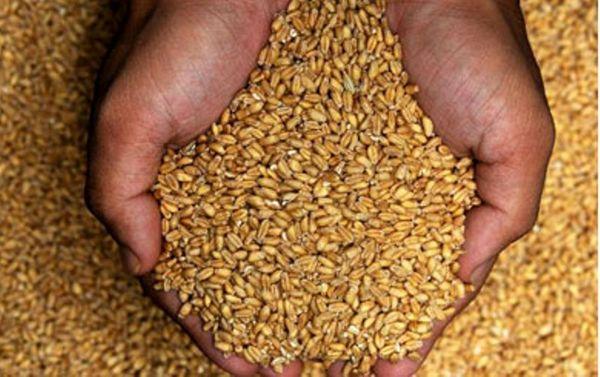 ۵۰ درصد بذرهای استفاده شده در خراسان شمالی اصلاح شده هستند