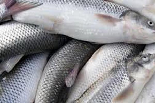 افزایش میزان تولید ماهی در خراسان شمالی