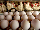 1 میلیون تن تخم مرغ امسال تولید می شود