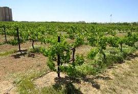 بهرهوری تولید انگور با طرح فراز تاکستان