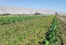 مشاهده پوسیدگی چغندر در اراضی کشاورزی شیروان