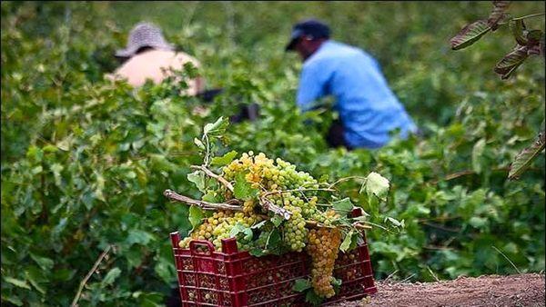 برداشت انگور از باغهای اصفهان