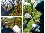 اجرای پروژه پیش آگاهی سرشاخه خوار هلو در باغات شهرستان سامان