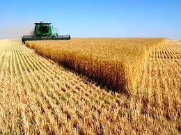 سن زدگی گندم تولیدی استان تهران در سال گذشته صفر بوده است