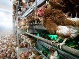 کشف یک کانون جدید بیماری آنفلوانزای فوق حاد پرندگان در استان تهران
