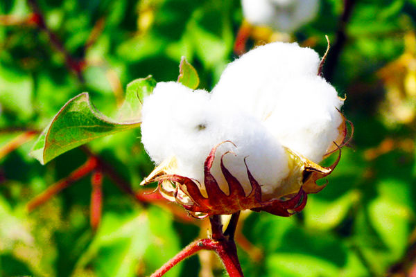 تدوین طرح جامع تهیه بذر استاندارد پنبه در کشور/ استفاده از فناوریهای روز در کرکزدایی از بذر پنبه