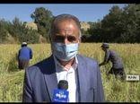 آغازبرداشت برنج از مزارع شهرستان بدره