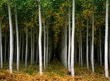 زراعت چوب؛ اصلیترین منبع تامین نیازهای چوبی کشور