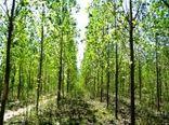 توسعه زراعت چوب در سطح 650 هکتار در استان سمنان