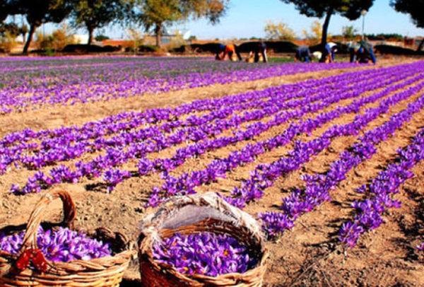 کاشت زعفران به جای هندوانه، مهاجرت روستایی را متوقف کرد