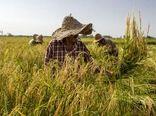 معرفی 4 لاین جدید برنج به کشاورزان گیلانی