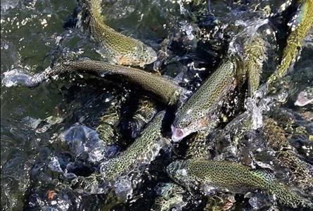 پیشبینی افزایش 15 درصدی تولید ماهی قزل آلا در سال جاری