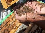 تولید عسل به روش اصلاح نژاد در شهرستان جاجرم
