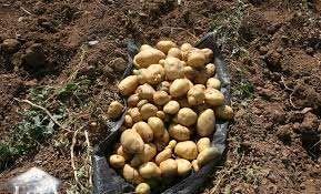 برداشت سیب زمینی از سطح 300 هکتارمزارع در شهرستان بردسیر