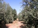 برداشت ۲ هزار و ٢٠٠ تن زیتون از سطح ۵۳۰ هکتار باغات بارور زیتون استان لرستان