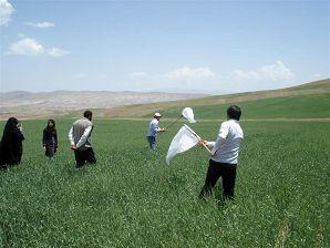 پایش اراضی و مزارع گندم برای مقابله با آفت سن در استان زنجان