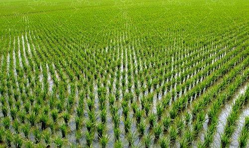 کشت برنج رقم پرمحصول آنام