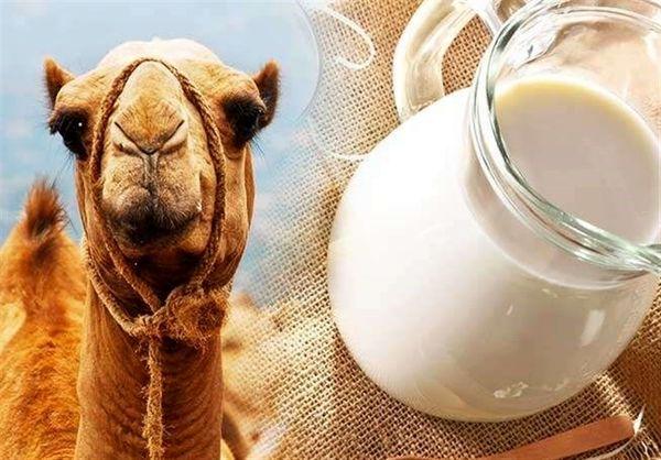 لزوم حمایت از راهاندازی کارخانجات فرآوری شیر شتر در خراسان جنوبی