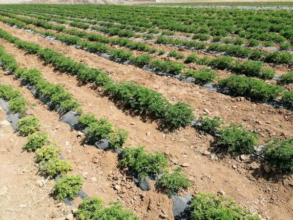 ۱۶۰۰ هکتار از مزارع چهارمحال و بختیاری زیر کشت گیاهان دارویی قرار دارد