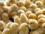 صادرات یک میلیون جوجه یکروزه به افغانستان و ارمنستان