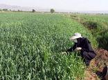 نرم گیری سن غلات در مزارع شهرستان مرند