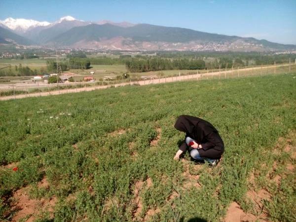 کاهش بارندگی باعث خسارت به مزارع عدس شد
