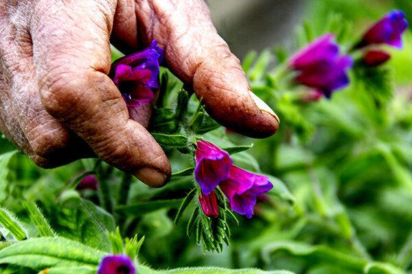 آغاز برداشت گل گاوزبان در شهر بن