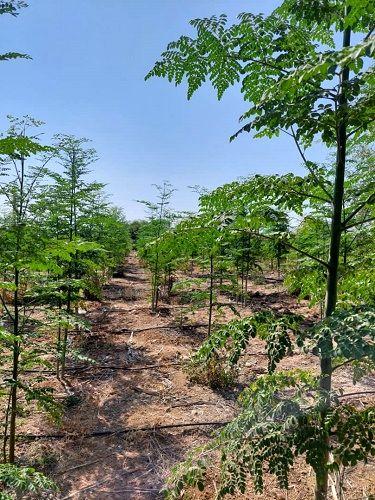 آغاز برداشت گیاه دارویی مورینگا در کازرون