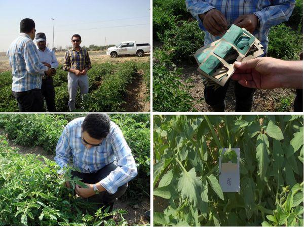 طرح کنترل بیولوژیک آفات در مزارع گوجه فرنگی استان قزوین اجرا میشود