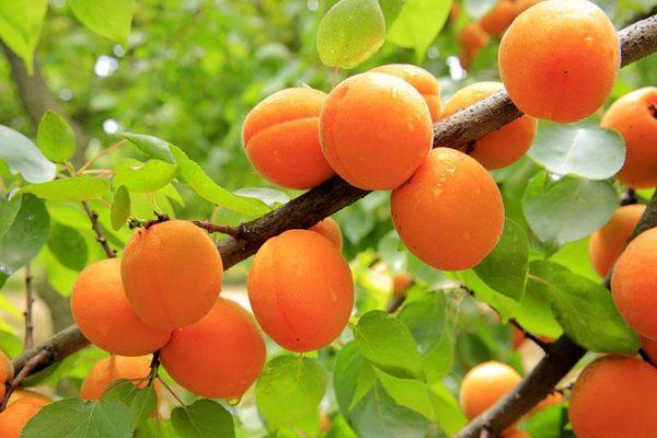 500 تن زردآلو در باغات شهرستان سامان برداشت شد