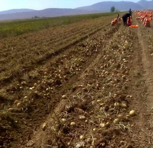 برداشت سیب زمینی از مزارع آباده آغاز شد