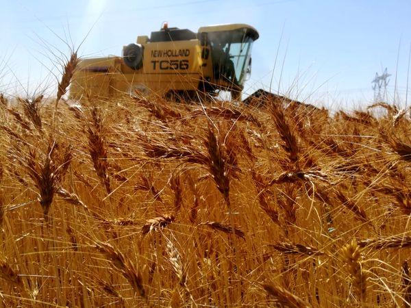 تولید دو برابری یک مزرعه گندم در ارسنجان