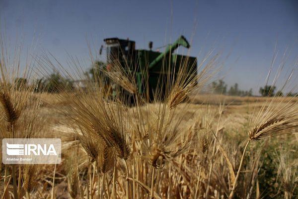 برداشت جو در بیش از ۲ هزار هکتار مزارع مریوان آغاز شد