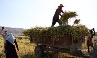 آغاز برداشت دانه روغنی کنجد از مزارع لارستان