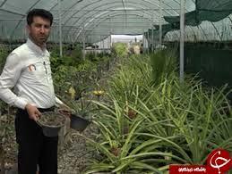 نهال آناناس به صورت کشت بافتی در استان مرکزی تکثیر شد