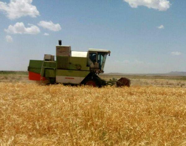 برداشت  7 هزار و 500 تن جو  از مزارع قزوین