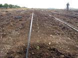 کاشت 77 هزار نشاء آویشن دنایی در شهرستان شبستر