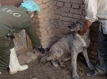 ۱۴۰۰ قلاده سگ در قزوین علیه هاری واکسینه شدند