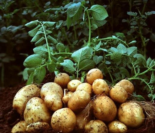 سلامت و پرمحصولی سیب زمینی کاران در گرو استفاده از بذور بومی
