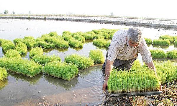 کشت برنج صرفا در استانهای گیلان و مازندران مجاز است
