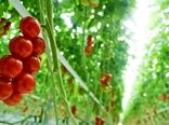 سالمسازی محصولات  کشاورزی با رهاسازی حشرات مفید در گلخانهها