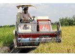 برداشت برنج در 10 هزار هکتار از شالیزارهای بابل