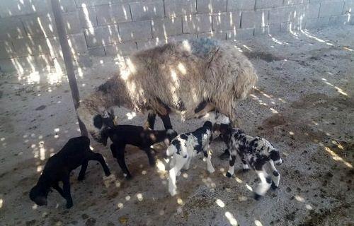 گوسفند محلی در نیریز 4 قلو زایید