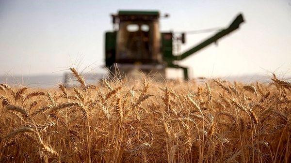 امسال بیش از ۲۱هزار تن گندم از گندمزارهای اشنویه برداشت می شود