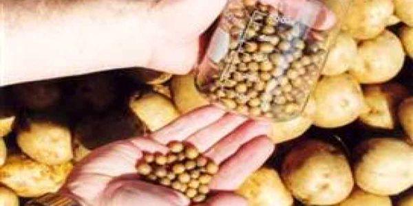 رتبه نخست اصفهان درتولید بذر مینی تیوبر سیب زمینی