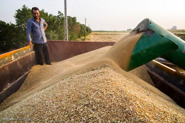 پرداخت 50 درصد از بهای گندم خریداری شده از کشاورزان آذربایجان غربی