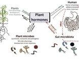 چگونه انسان ها و میکروب های روده به هورمون های گیاهان پاسخ می دهند