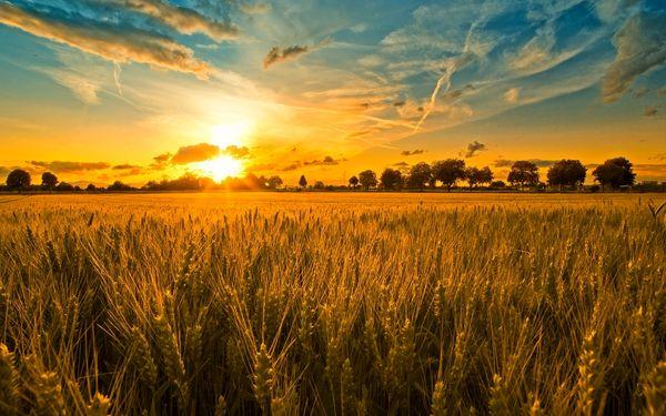 بیش از ۸۴ هزار هکتار از اراضی بوکان به کشت گندم اختصاص یافت