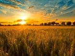 اختصاص 3500 هکتار از مزراع استان کرمان به کشت پاییزه گندم
